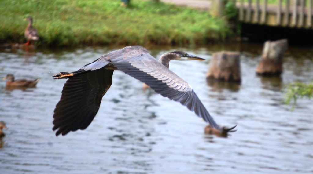 Graceful blue heron in flight over the water