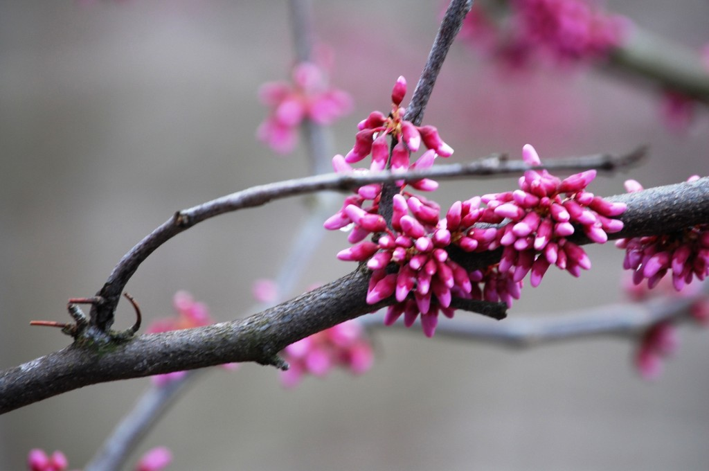 Redbud in bloom in Kentucky