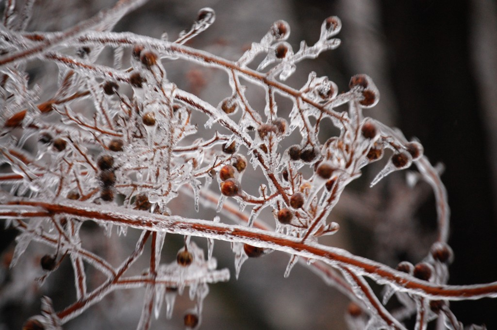 Ice encapsulates berry covered branches