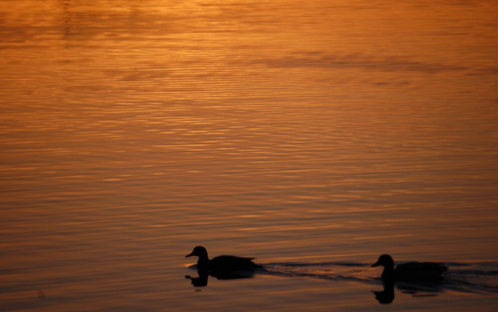 Ducks float on the lake at sunrise