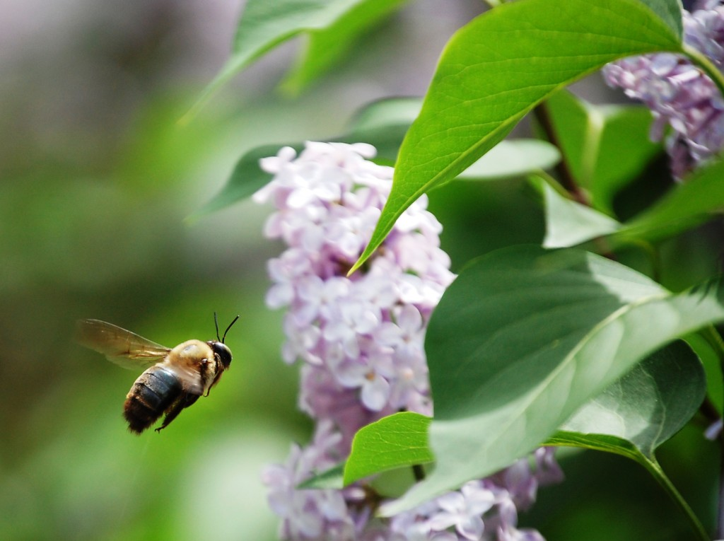 A bee doing its job with the lilacs in my back yard