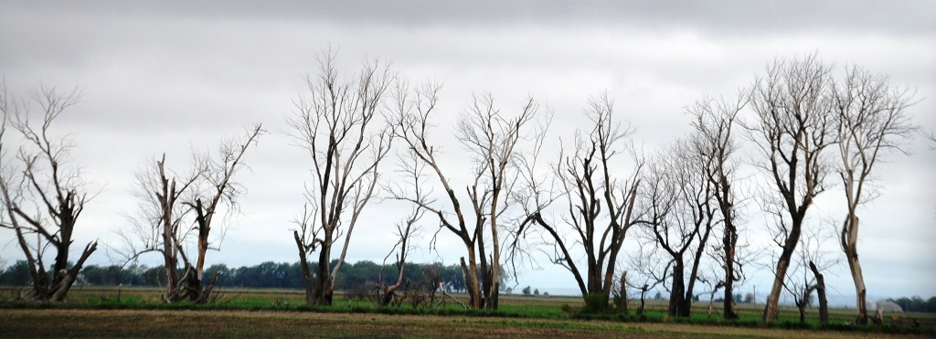 A Row of Trees on farmland near Tripp, South Dakota