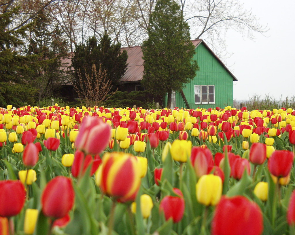 A tulip field on a back road near Woodstock, Ontario
