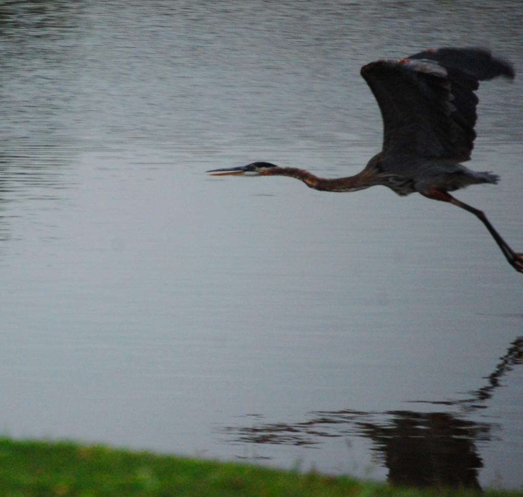 Blue Heron in Flight - Lexington, KY