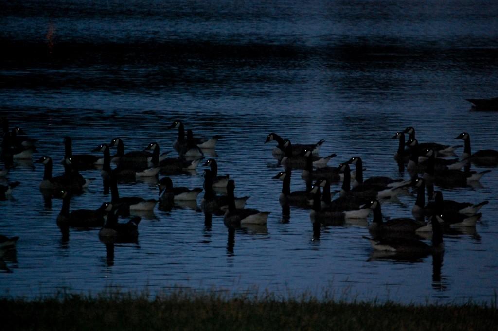 Glowing Geese!