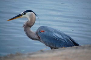 """Herry"" my Blue Heron friend"