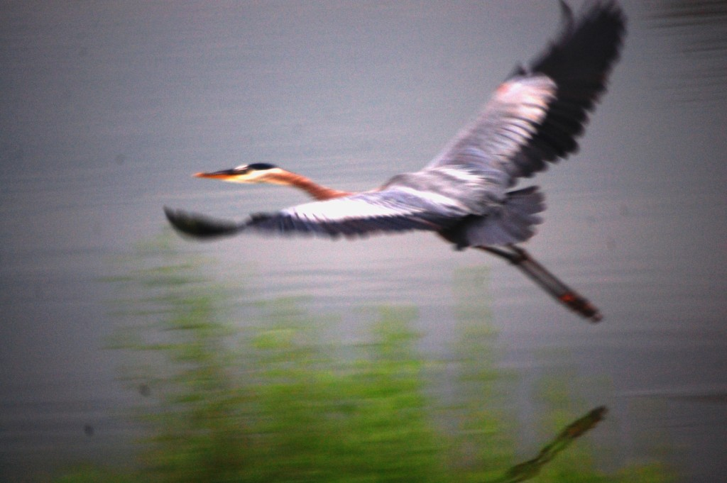 Another photo of the graceful heron in flight