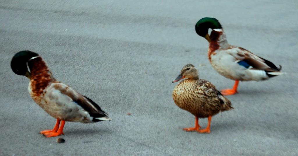 Copy-ducks...