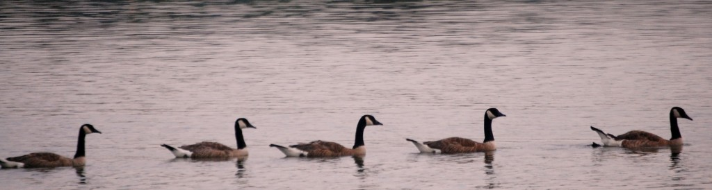 Geese all in a row