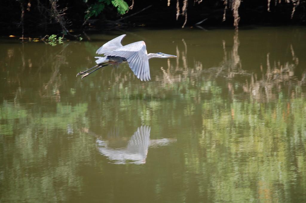 A blue heron glides over the Kentucky River