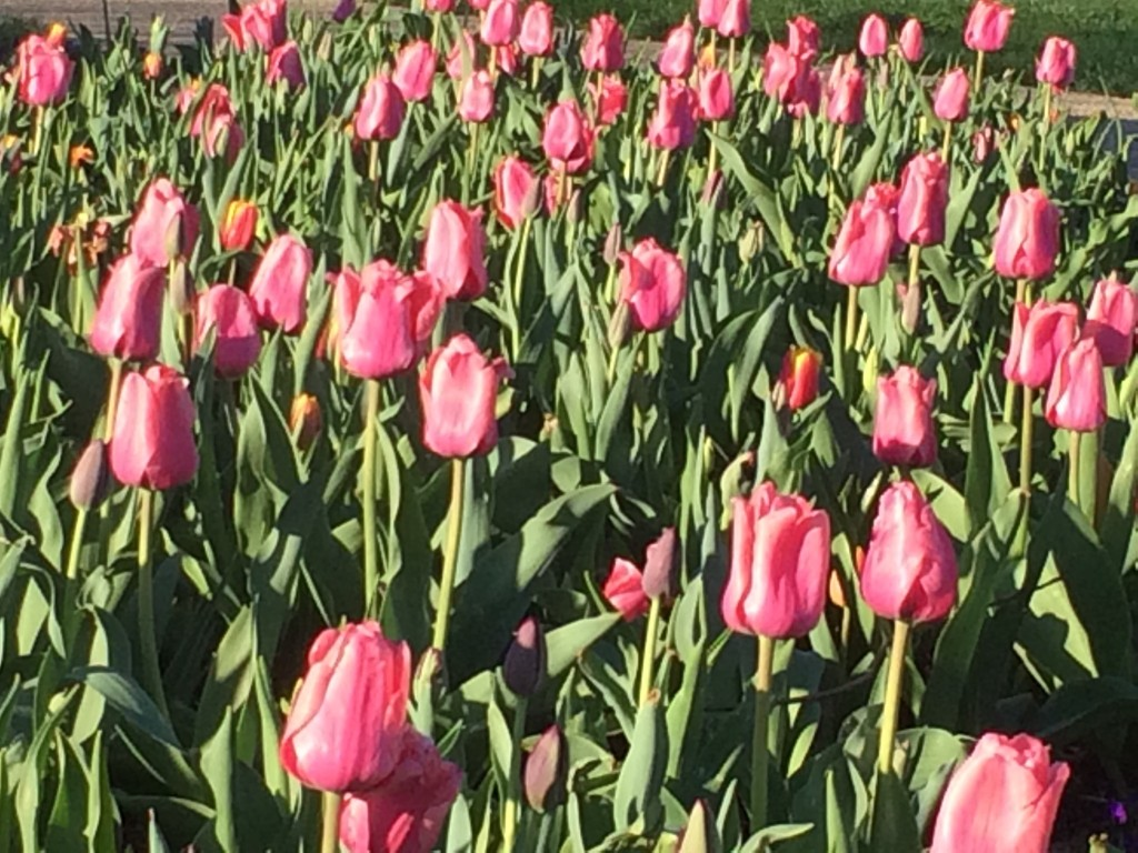 A field of tulips at the Kentucky Arboretum near University of Kentucky