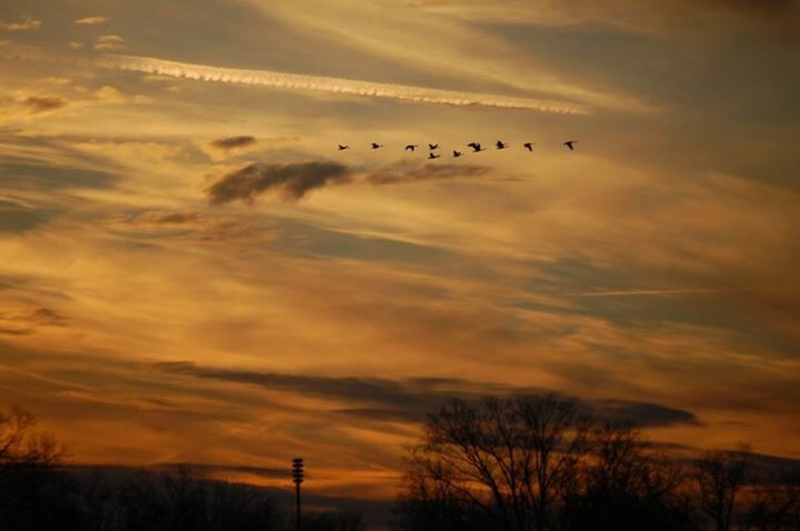 Geese in formation flying over Lexington in November