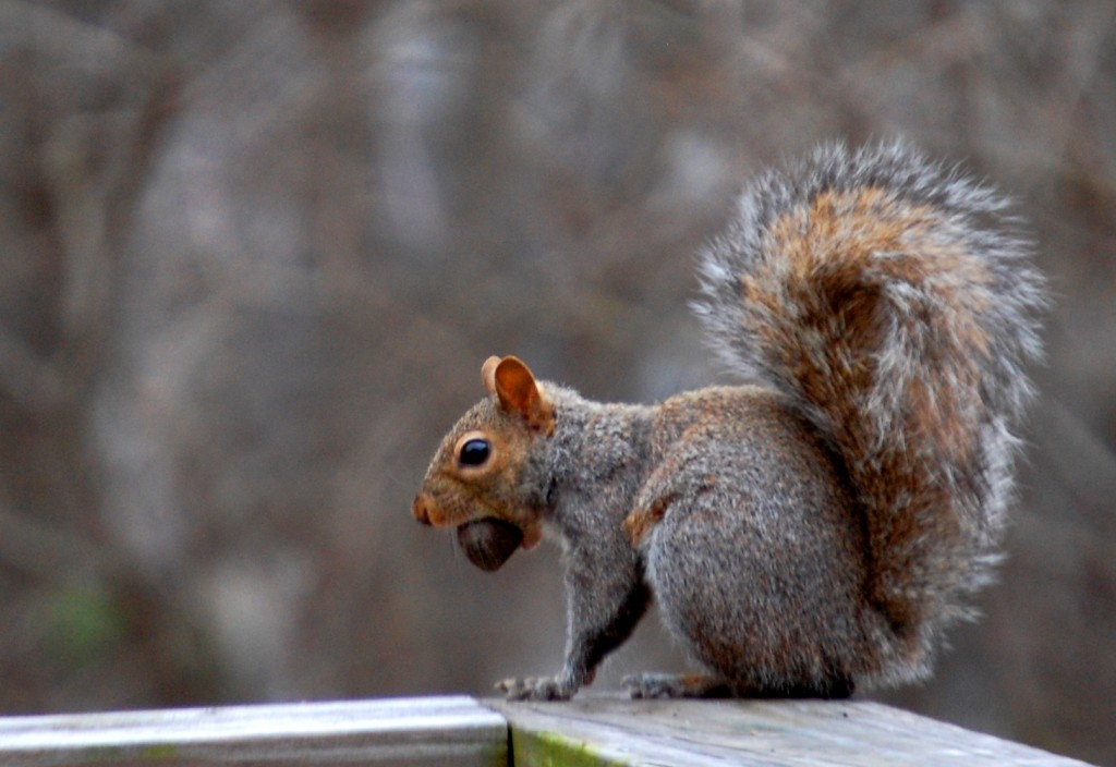 A squirrel readies a nut for his food storage