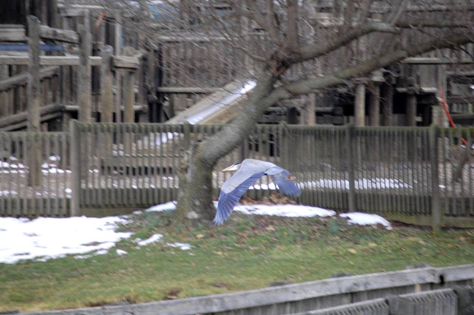 A Blue Heron flies by the playground in 2015